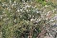 Coreopsis rosea 3zz.jpg