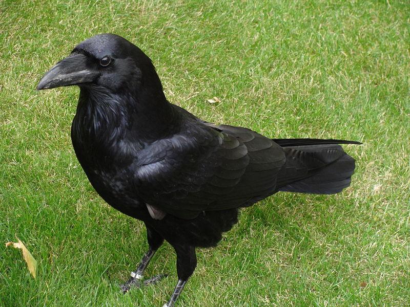 File:Corvus corax.001 - Tower of London.JPG