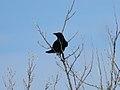 Corvus corone (41167316622).jpg