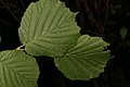 Corylus avellana (35697344033).jpg