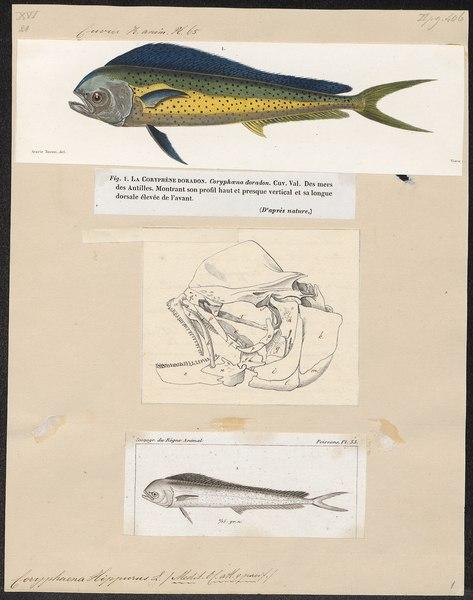 File:Coryphaena hippurus - 1700-1880 - Print - Iconographia Zoologica - Special Collections University of Amsterdam - UBA01 IZ13500308.tif