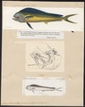 Coryphaena hippurus - 1700-1880 - Print - Iconographia Zoologica - Special Collections University of Amsterdam - UBA01 IZ13500308.tif