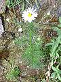 Cota triumfetti Habitus 2009-7-25 SierraNevada.jpg