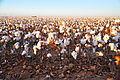 Cotton field kv26.jpg
