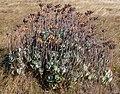 Cotyledon orbiculata, Taylors Mistake, Christchurch, New Zealand.jpg