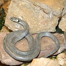 Un serpent grisâtre est lové sur des rochers