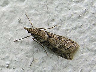 <i>Eudonia</i> Genus of moths