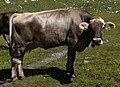 Cow in Davos.jpg