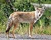 Coyote in Alaska.jpg