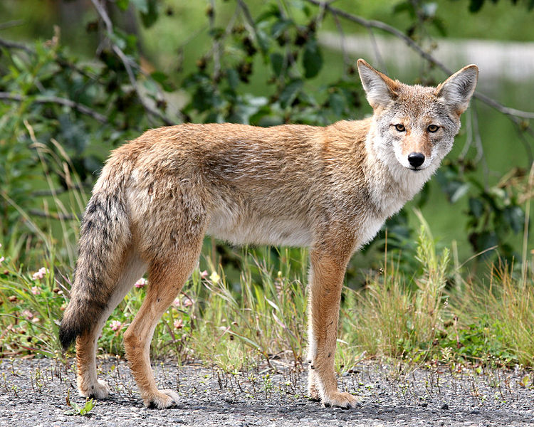 File:Coyote in Alaska.jpg
