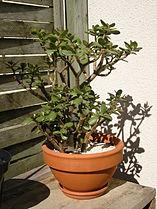 Crassula arborescens.JPG
