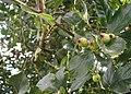 Crataegus-crus-galli-fruits.JPG