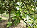 Crataegus laevigata 'Punicea' (Rosaceae) leaves and seeds.JPG