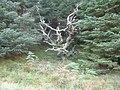 Creepy Looking Tree - geograph.org.uk - 560911.jpg