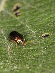 Crepidodera Flea beetle (Chrysomelidae) from East-Germany (8073717352).jpg
