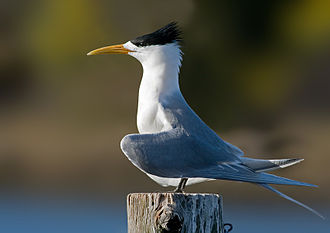 Greater crested tern - Breeding plumage T. b. cristata displaying