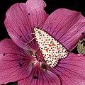 Crimson-speckled footman, Uthesis pulchella, beautiful moth in a flower (37579264724).jpg