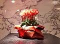 Crimson red cyclamens in a pot.jpg