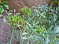 Crithmum maritimum - Missouri Botanical Garden.jpg