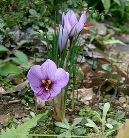http://upload.wikimedia.org/wikipedia/commons/thumb/3/30/Crocus_sativus1.jpg/265px-Crocus_sativus1.jpg