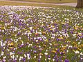 Crocusses in park.jpg