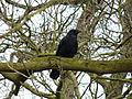 Crow (4352489698).jpg