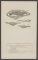 Cteniza - Print - Iconographia Zoologica - Special Collections University of Amsterdam - UBAINV0274 004 04 0033.tif