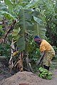 Cultivatrice camerounaise6.jpg