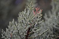 Cupressus nevadensis resin glands.jpg