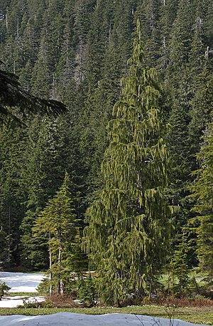 Cupressus nootkatensis - Image: Cupressus nootkatensis 1334