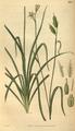 Curtis's Botanical Magazine, Plate 3084 (Volume 58, 1831).png