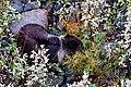 Cute Grizzly Bear Cub (48847665006).jpg