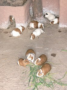 Guinea pig wikipedia typical cuy guinea pigs raised non commercially for the table in south america showing common size and markings ccuart