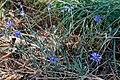 Cyanus segetum-Bleuet-plante-20200730.jpg