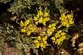 Cymopterus glomeratus - Flickr - aspidoscelis (2).jpg