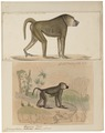 Cynocephalus doguera - 1700-1880 - Print - Iconographia Zoologica - Special Collections University of Amsterdam - UBA01 IZ20100027.tif