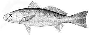 Weakfish - Image: Cynoscion regalis (line art)