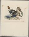 Dacelo leachii - 1820-1863 - Print - Iconographia Zoologica - Special Collections University of Amsterdam - UBA01 IZ16800173.tif