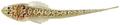 Dactyloscopus tridigitatus - pone.0010676.g140.png