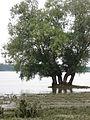 Danube marsh, Maglavit 01.JPG