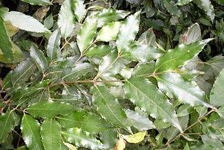 <i>Daphnandra apatela</i> Species of tree