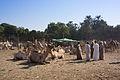 Daraw Camel Market (1).jpg