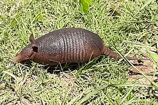 Seven-banded armadillo species of armadillo found in Paraguay, Argentina, Bolivia and Brazil.