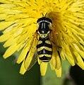 Dasysyrphus albostriatus fem.jpg