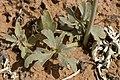Delphinium scaposum - Flickr - aspidoscelis (1).jpg