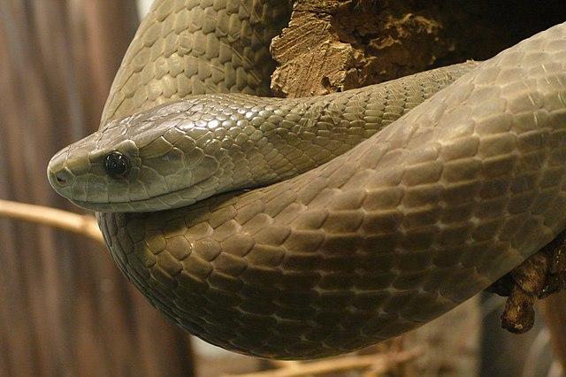 Mamba čierna - najväčší jedovatý a najrýchlejší (20 km/h) had Afriky