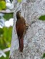 Dendrocolaptes certhia radiolatus - Amazonian Barred-Woodcreeper (radiolatus), Manacapuru, Amazonas, Brazil.jpg
