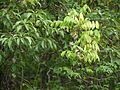 Derris canarensis (5657503714).jpg