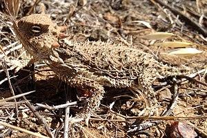 Desert horned lizard - Image: Desert Horned Lizard