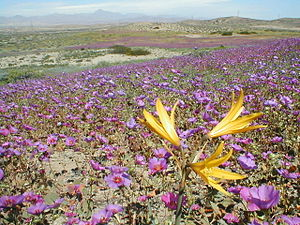 Flowered desert, at the Atacama desert in Chile